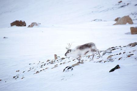 svalbard: A reindeer on the island of Spitsbergen, Svalbard, Norway