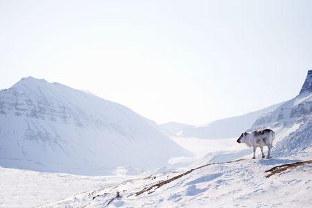 svalbard: A wild raindeer against a desolate winter landscape, Svalbard, Norway