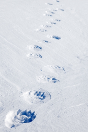 polar bear on the ice: Fresh polar bear tracks - Spitsbergen, Svalbard, Norway