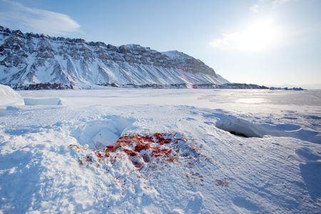 Bloody remains of a seal after it had been captured and eaten by a polar bear