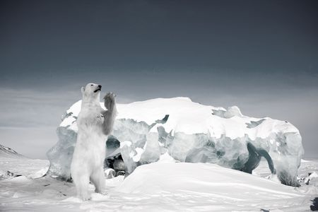 A polar bear in a wild natural setting, Svalbard, Norway photo