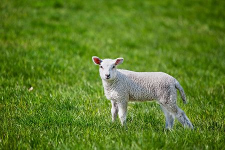 A small spring lamb isolated on green grass photo