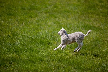 A young lamb running and jumping in a green field. photo