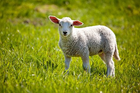 A small lamb in a pasture of sheep looking curious at the camera