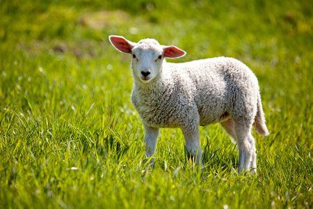 ovejitas: Un cordero pequeño en una pastura de ovejas mirando curiosa a la cámara Foto de archivo