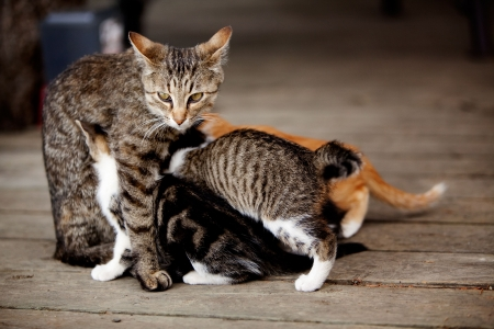 A cat with many nursing kittens photo