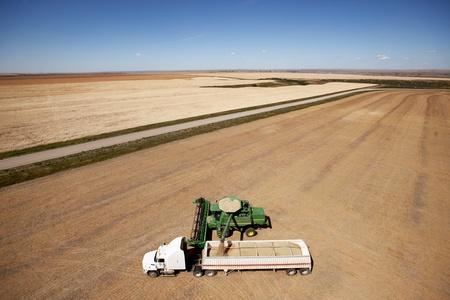 cosechadora: Una combinación de descarga una cosecha de lentejas en un camión de la pradera