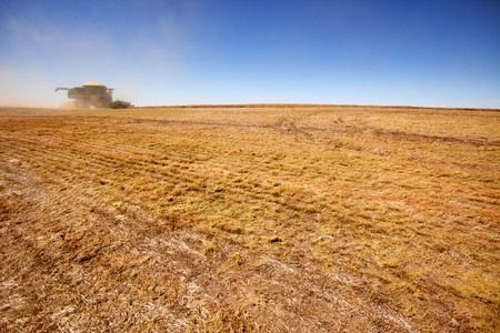 lentil: A combine on the horizon harvesting a field of lentils Stock Photo