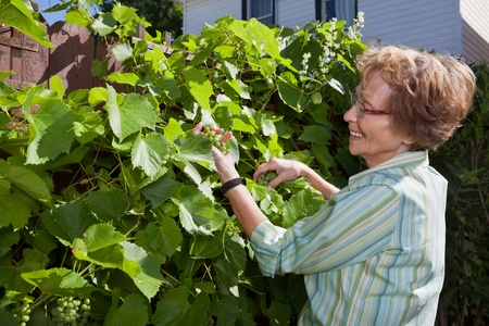 yard work: Senior woman looking at grapes while working in garden