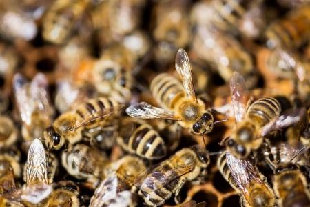 bee swarm: Macro shot of bees swarming