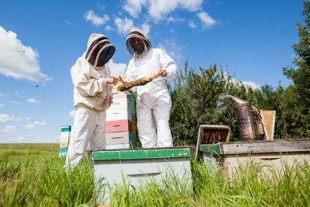 apiary: Beekeepers in protective workwear examining honeycomb together at apiary Stock Photo