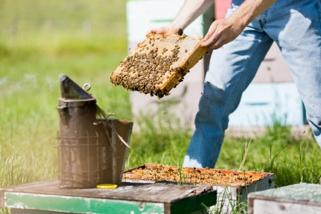 apiary: Midsection of male apiarist smoking a beehive on apiary