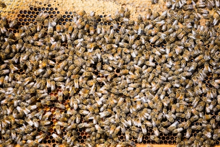 bee swarm: Detail of bees swarming on a honeycomb