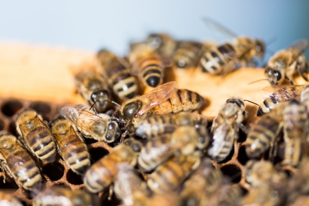 bee swarm: Detail of bees swarming on honeycomb frame with queen bee in center
