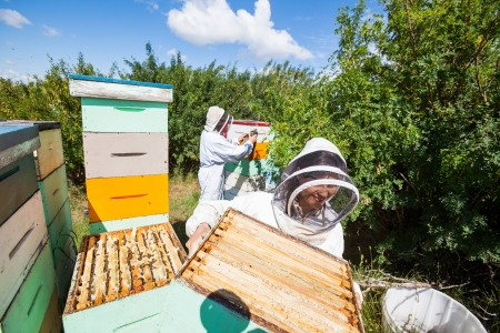 apiary: Beekeepers in protective clothing working in apiary