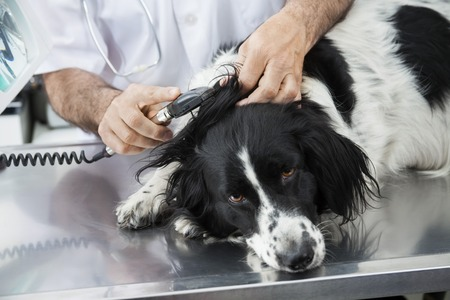 collies: Cropped image of doctor examining Border Collies ear with machine in clinic