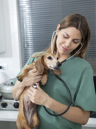 mid adult   female: Mid adult female vet examining dachshund with stethoscope in hospital