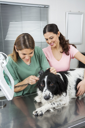 collies: Mid adult vet examining Border Collies ear with otoscope by woman in clinic