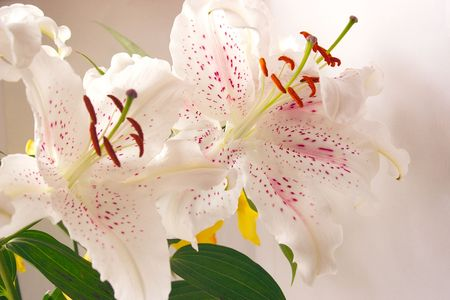 two easter lilies