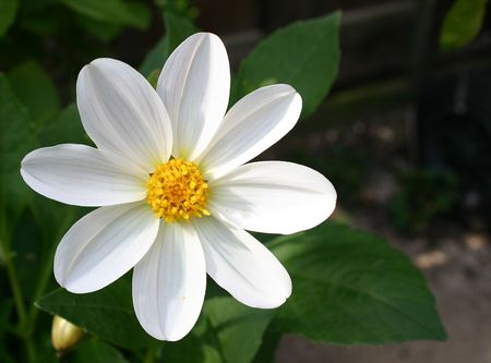 white dahlia flower set to the left of the picture