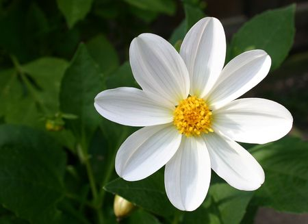 white dahlia set to the right of the picture Stock Photo