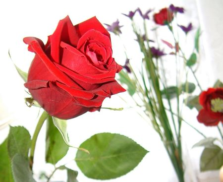 valentine red rose for a loved one photo