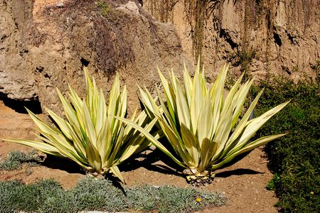aloe vera cacti growing in the gardens in Spain Stock Photo - 317116