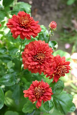 red chrysanthemums in the garden Stock Photo