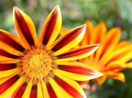 tigerstripe gazania set in the corner of the picture Stock Photo