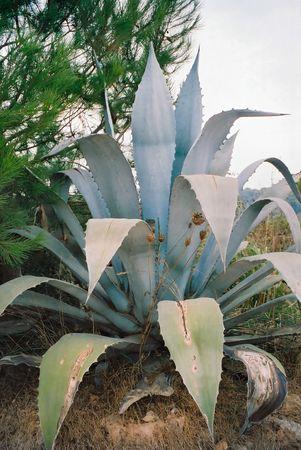 aloe vera grandes cactus  Foto de archivo