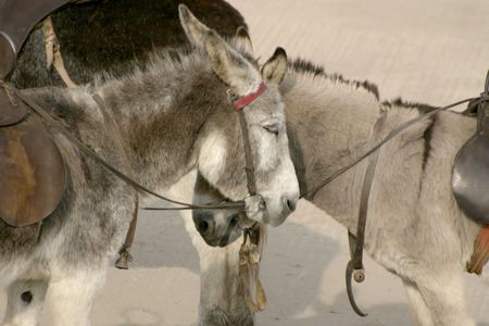 two donkeys waiting to give children a ride photo