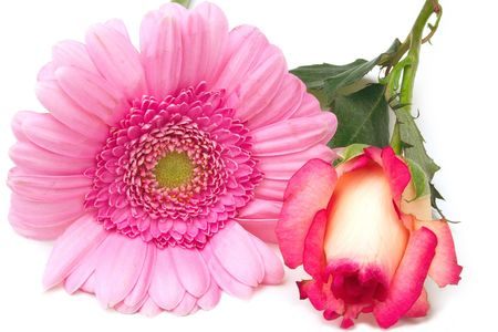 rosebud and pink zinnia isolated over a white background