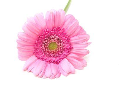 zinnia: pink zinnia isolated over white
