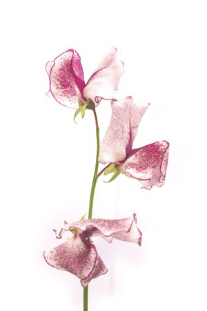 sweetpea stem over a white background