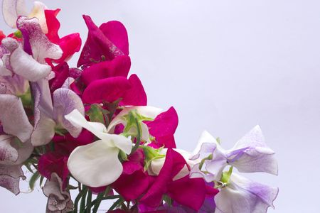 pinks: bunch of sweetpeas with copyspace to the right