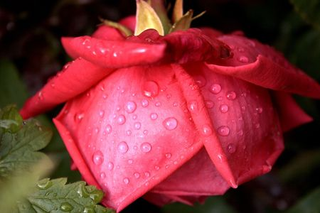 red rose drooping with the weight of the rain on it Stock Photo - 326605