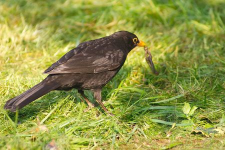 blackbird with a knotted worm photo