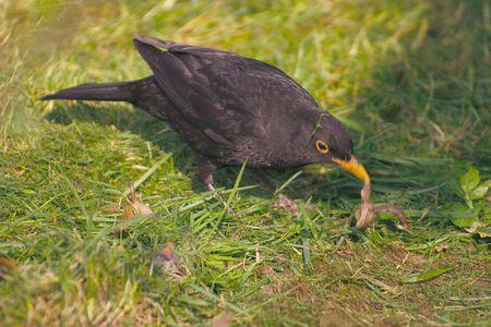 blackbird with a worm in its beak