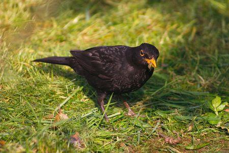 grub: blackbird with a grub in its beak