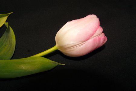 light pink tulip over a black background