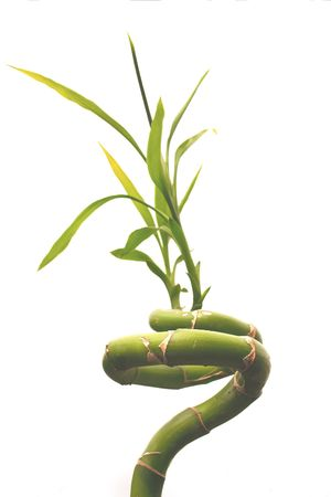 bamboo plant isolated over a white background