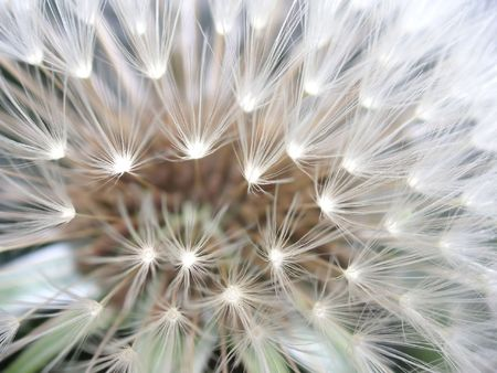 abstract macro shot of a dandelion seedhead
