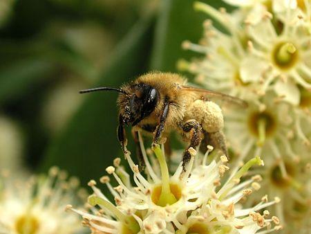 bumble bee collecting pollon photo