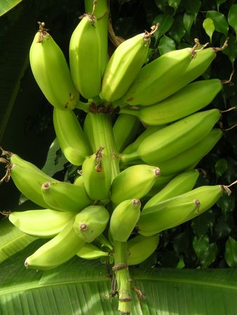 bananas growing on the tree Stock Photo