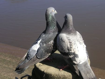 pigeon couple