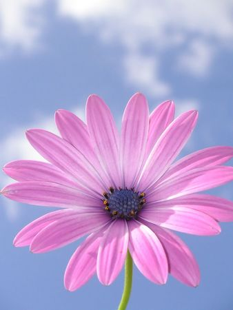 pink african daisy against a blue sky Stock Photo - 383316