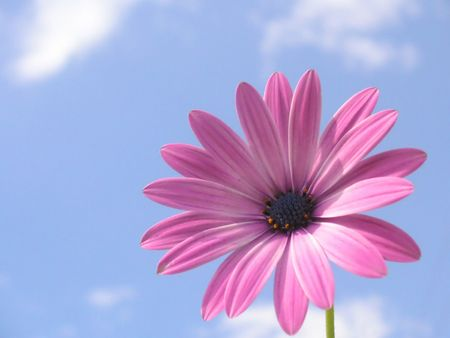 gerbera daisy: pink african daisy set right on the picture Stock Photo