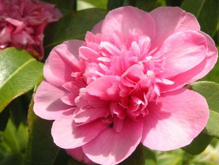 camellia - elsie jury