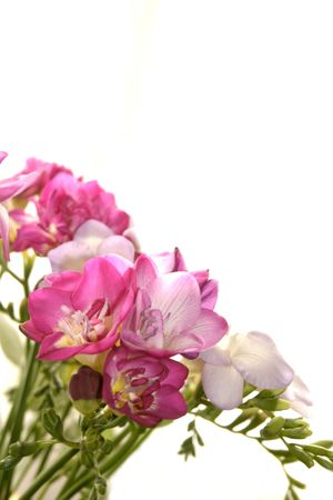 freesia: bunch of freesia over a white background