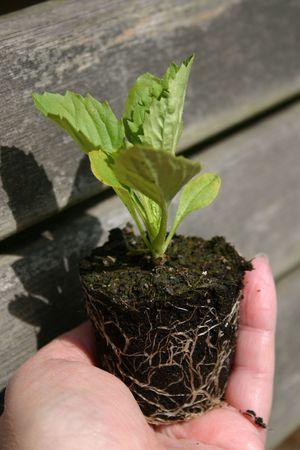 seeding: seeding being neurtured in a hand Stock Photo